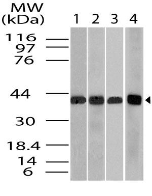 Polyclonal Antibody to Beta actin