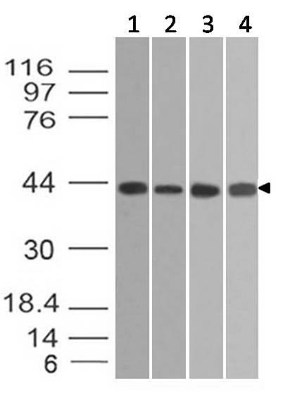 Polyclonal Antibody to Beta actin
