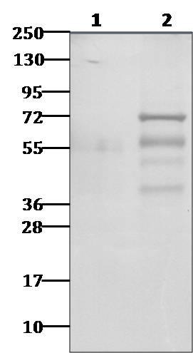 Polyclonal Antibody to CHIKV-nsP3
