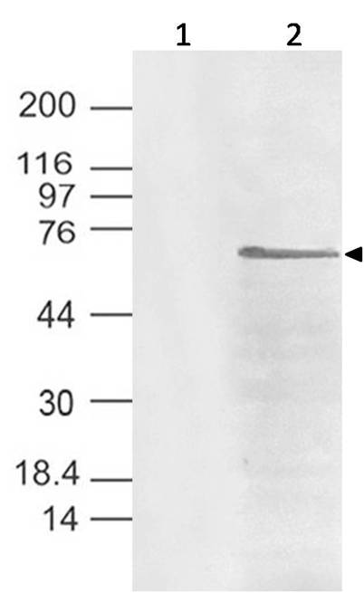 Polyclonal Antibody to CHIKV-nsP4