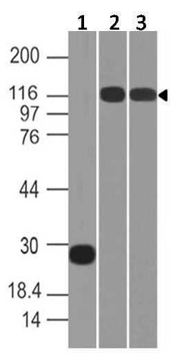 Anti-ACE2 Polyclonal antibody