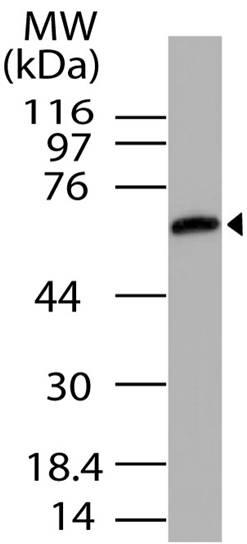 Polyclonal Antibody to UNC93B