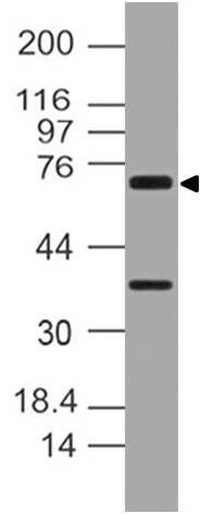 Polyclonal Antibody to NALP10