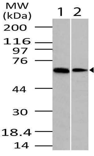 Polyclonal Antibody to DUBA