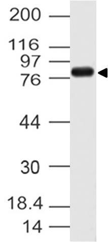 Polyclonal Antibody to Cactin