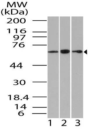 Polyclonal Antibody to Gbp1