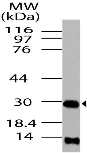 Polyclonal Antibody to HMGB1