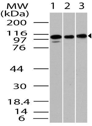 Polyclonal Antibody to TLR1