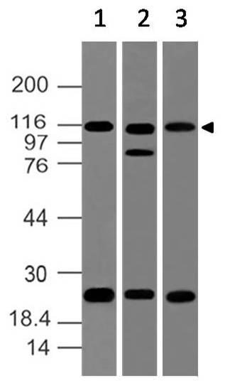 Polyclonal Antibody to NALP2