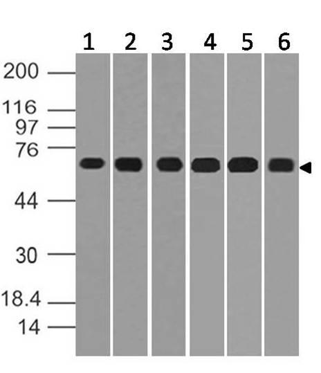 Polyclonal Antibody to IRAK2