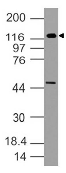 Polyclonal Antibody to h TLR5