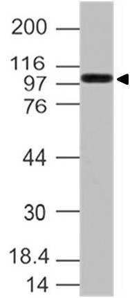 Peroxidase conjugated Goat anti Rat IgG (H+L)