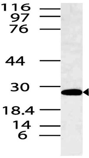 Polyclonal Antibody to SpiB