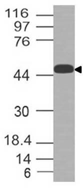 Polyclonal Antibody to LAT