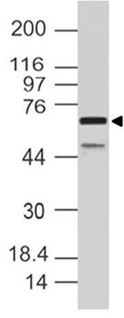 Polyclonal Antibody to SAMHD1