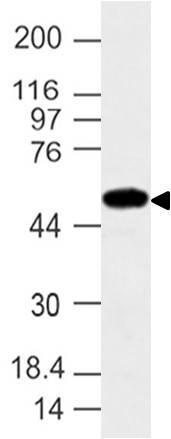 Polyclonal Antibody to IFIT2