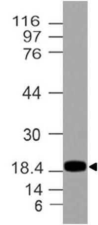 Polyclonal Antibody to REG3A