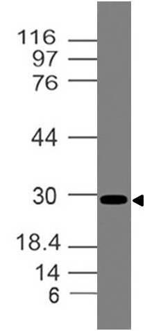 Polyclonal Antibody to Mouse TIM-3