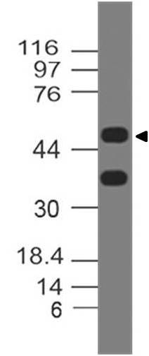 Polyclonal Antibody to Dec1