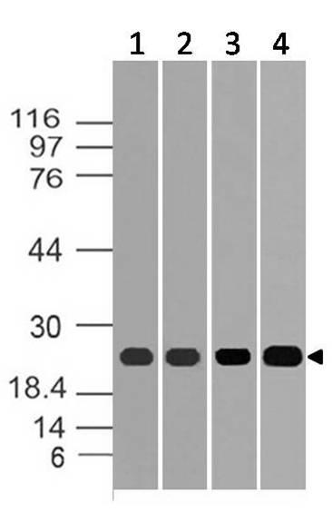 Polyclonal Antibody to ERS25