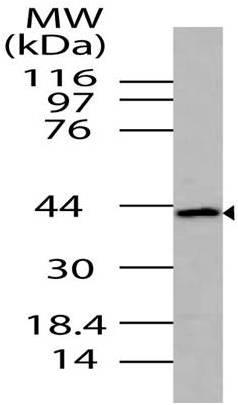 Polyclonal Antibody to ICAD
