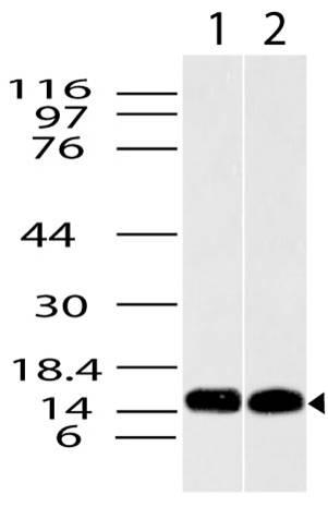 Polyclonal Antibody to Histone H3.3