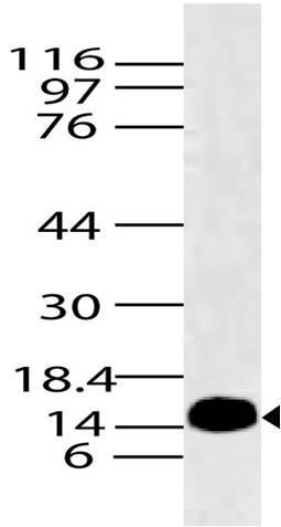 Polyclonal Antibody to Histone H2A.x