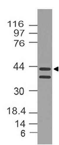 Polyclonal Antibody to Dnmt3L