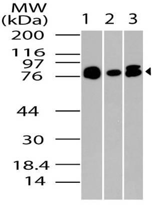 Polyclonal Antibody to PRMT7