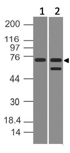 Polyclonal Antibody to PRDM5