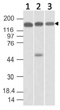 Polyclonal Antibody to SMC4