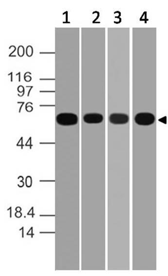 Polyclonal antibody to eIF4B
