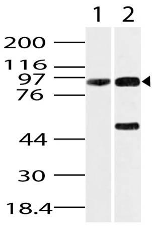 Polyclonal Antibody to GRP94