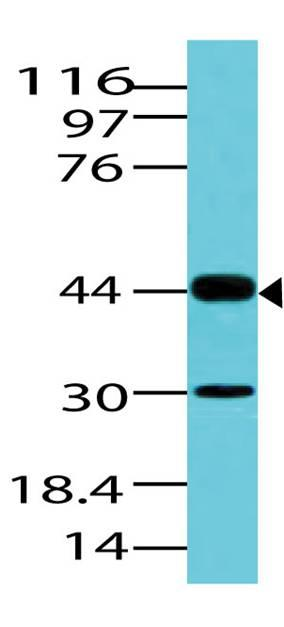 Polyclonal Antibody to PAX2