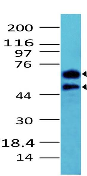 Polyclonal Antibody to CDC25a