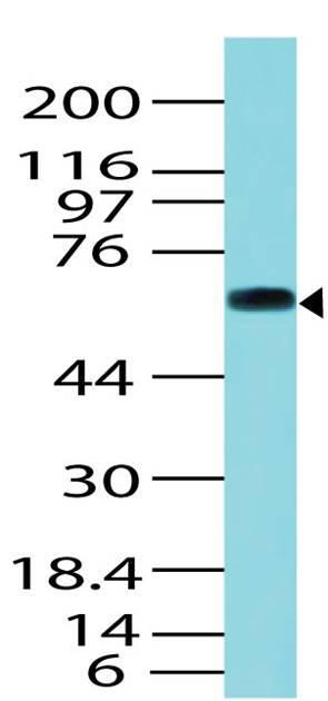 Polyclonal Antibody to Trim29