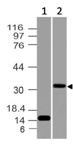 Polyclonal Antibody to PD-L1