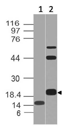 Polyclonal Antibody to CD3e