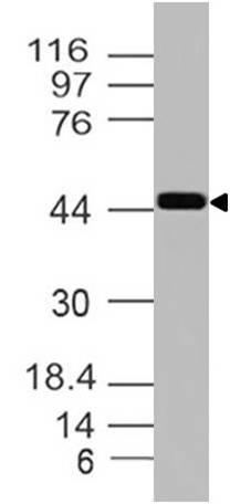 Polyclonal Antibody to Inhibin