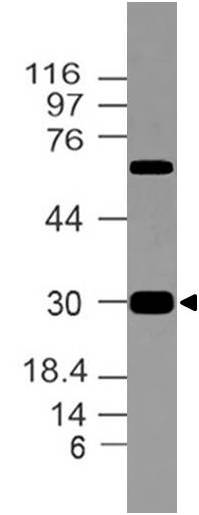 Polyclonal Antibody to CLIP