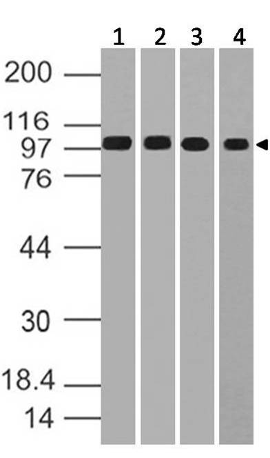 Polyclonal Antibody to MSH2