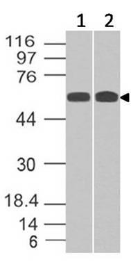 Polyclonal Antibody to SMAD4