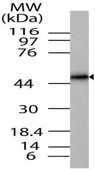 Polyclonal Antibody to RUNX2