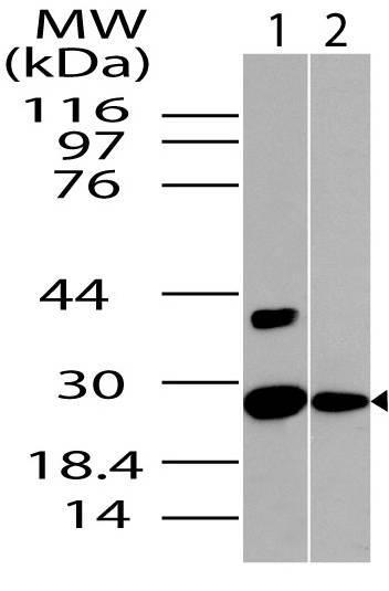 Polyclonal Antibody to NQO1