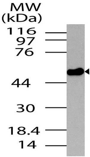 Polyclonal Antibody to Neurotensin receptor 2