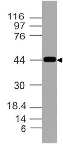Polyclonal Antibody to RDC1