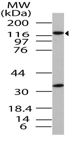 Polyclonal Antibody to Importin-8