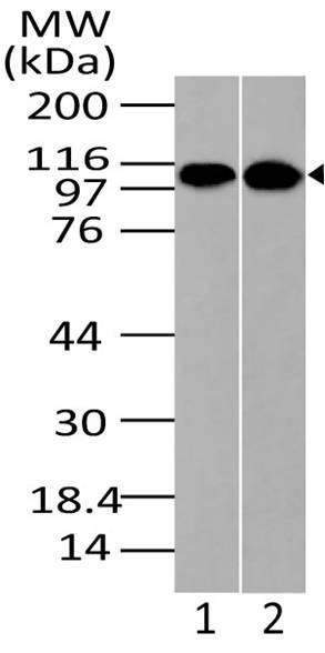 Polyclonal Antibody to Importin-9