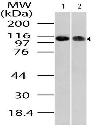 Polyclonal Antibody to Importin-9 (Ran-binding protein 9)