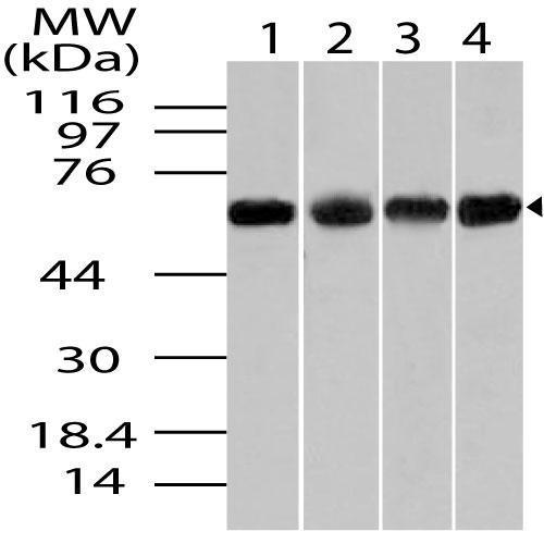 Polyclonal Antibody to Chaperonin